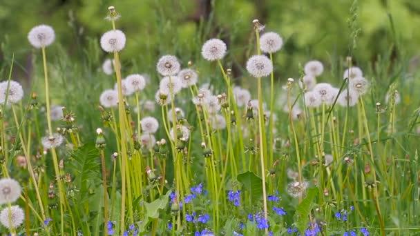 Pitypang Glade Spring
