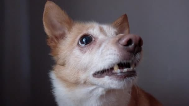 Lustige emotionale Hund knurrt und bellt, Mischlingshund