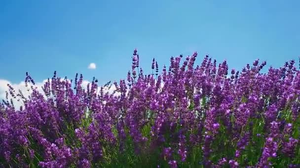 Close view of lavender bushes in sunny day