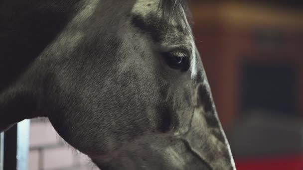 Boční pohled na koně zblízka ve zpomaleném záběru.