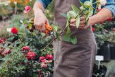 zahradník, řezání růže s zahradnické nůžky