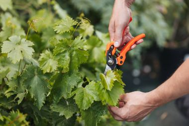 gardener cutting leaves with pruning shears