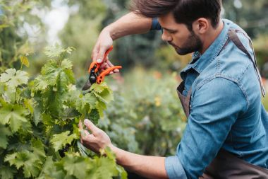 gardener with pruning shears cutting plant
