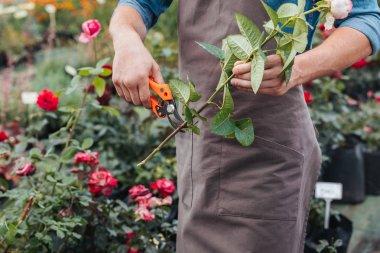 gardener cutting rose with pruning shears
