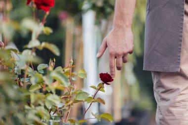 man touching red rose in garden