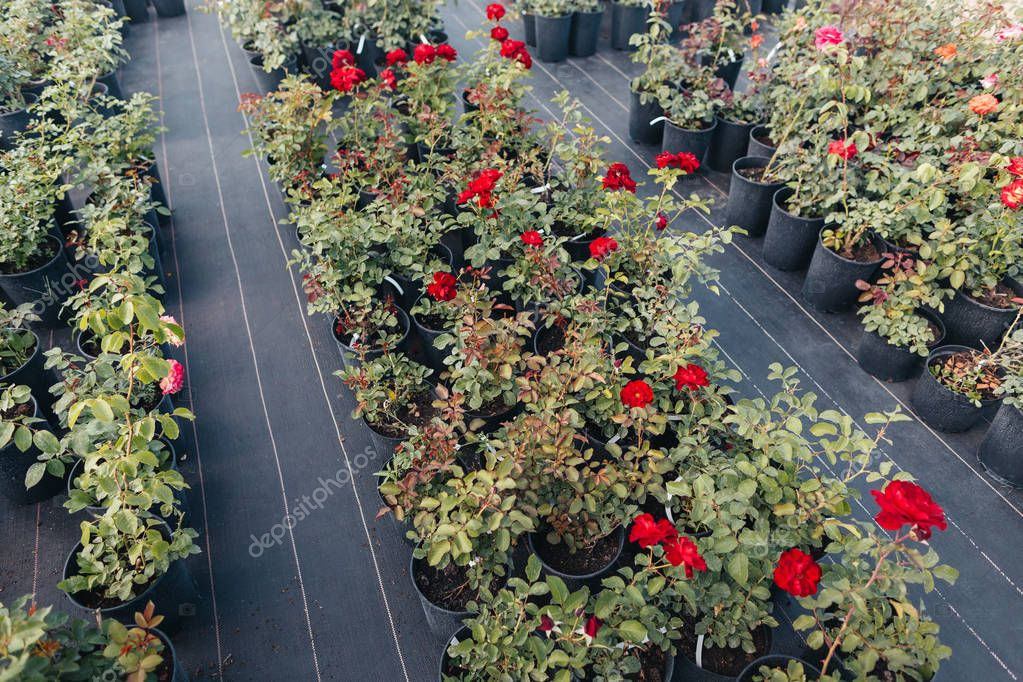 red roses in flowerpots in greenhouse