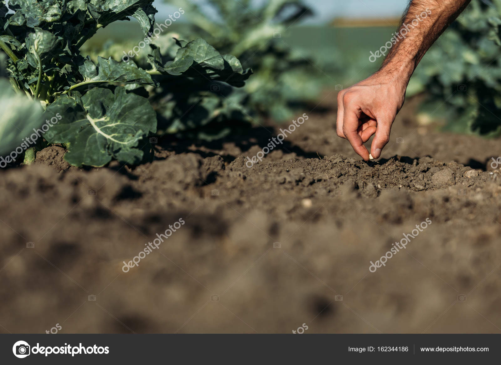 Images Farmer Sowing Seeds Farmer Sowing Seed Stock Photo