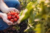 Farmář hospodářství rajčata