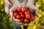 Fotografie Landwirt Betrieb Tomaten