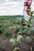 řepa hospodářství zemědělce v oblasti