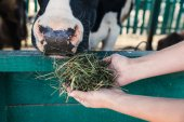 farmer feeding cow in stall