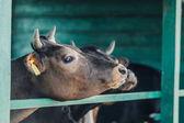 Fényképek barna tehén farmon