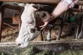 Fotografie farmář krmení krav