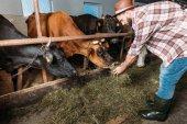 mužské farmář krmení krav