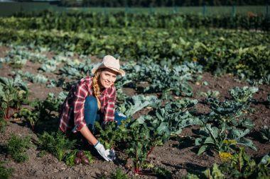 farmer harvesting beets