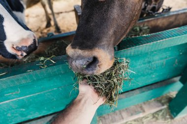 farmer feeding cows in stall