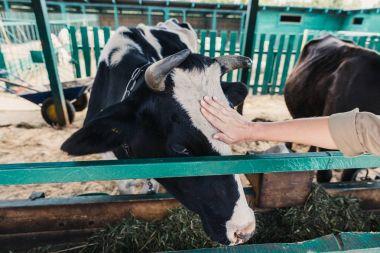 farmer feeding cow