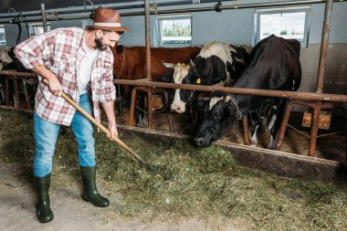 man with forks feeding cows