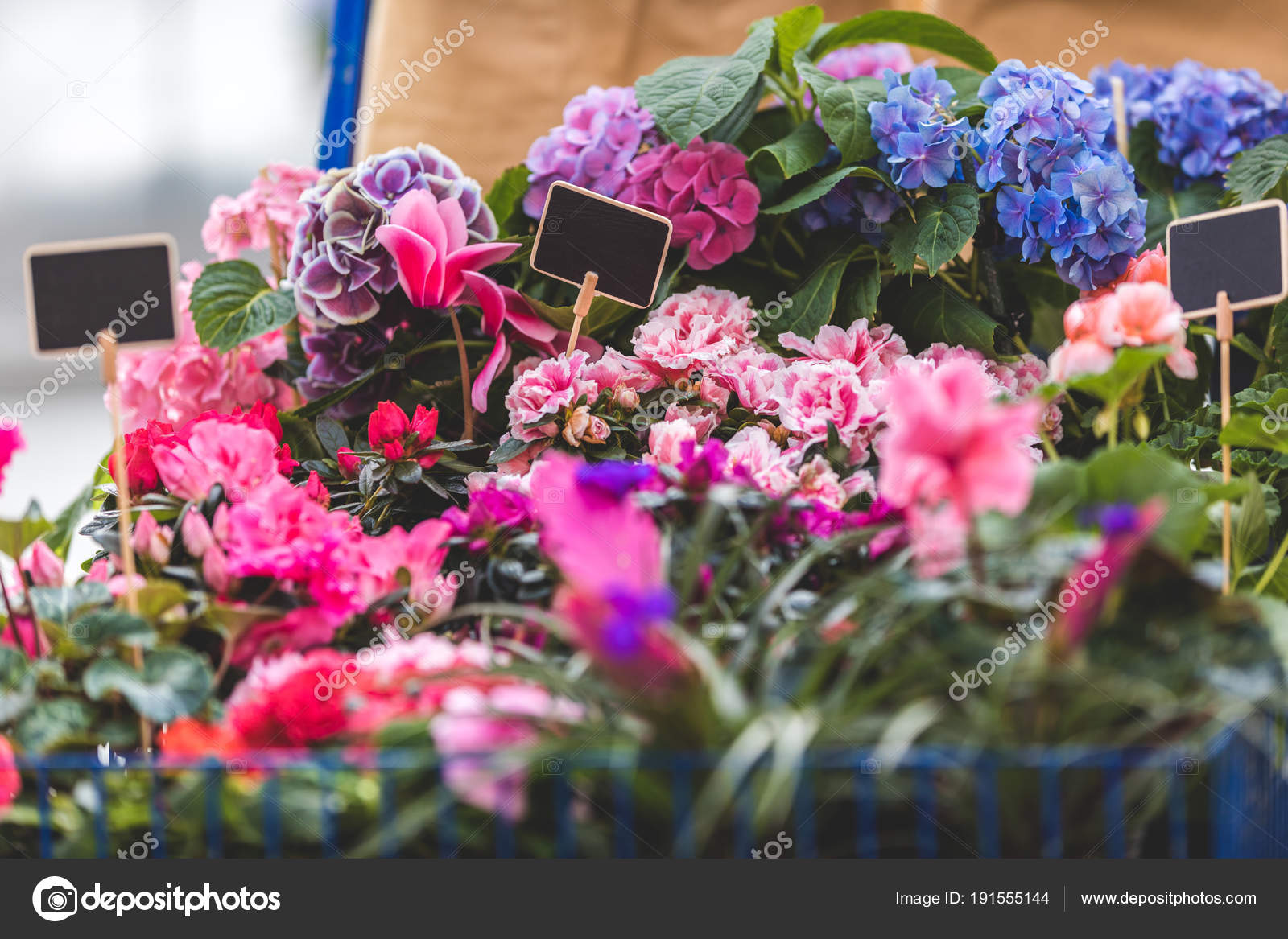 Pink Blue Blooming Flowers Pots Empty Tags Stock Photo