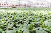 Növekszik az üvegházi növények levelei