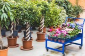 Photo Metal cart with blooming flowers by ficus trees in pots