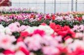 Růžové a bílé brambořík kvete školky ve skleníku