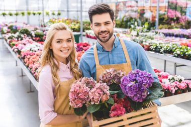 Couple of gardeners holding pots with hydrangea flowers