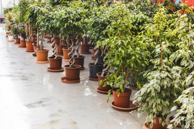 Green plants and ficus in pots in greenhouse