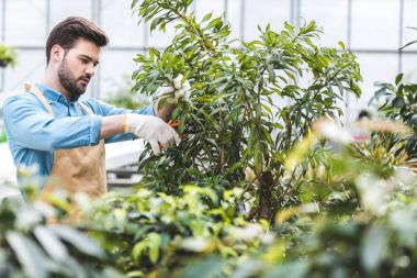 Male gardener cutting green plants in glasshouse