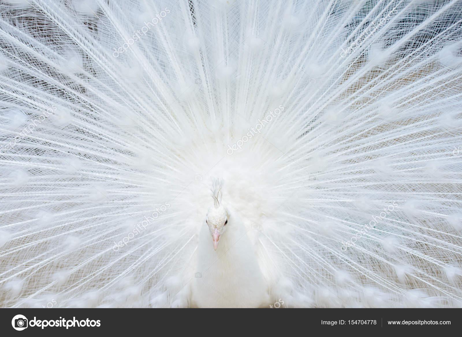 Pavone bianco con coda diffusa — Foto Stock © red-feniks #154704778