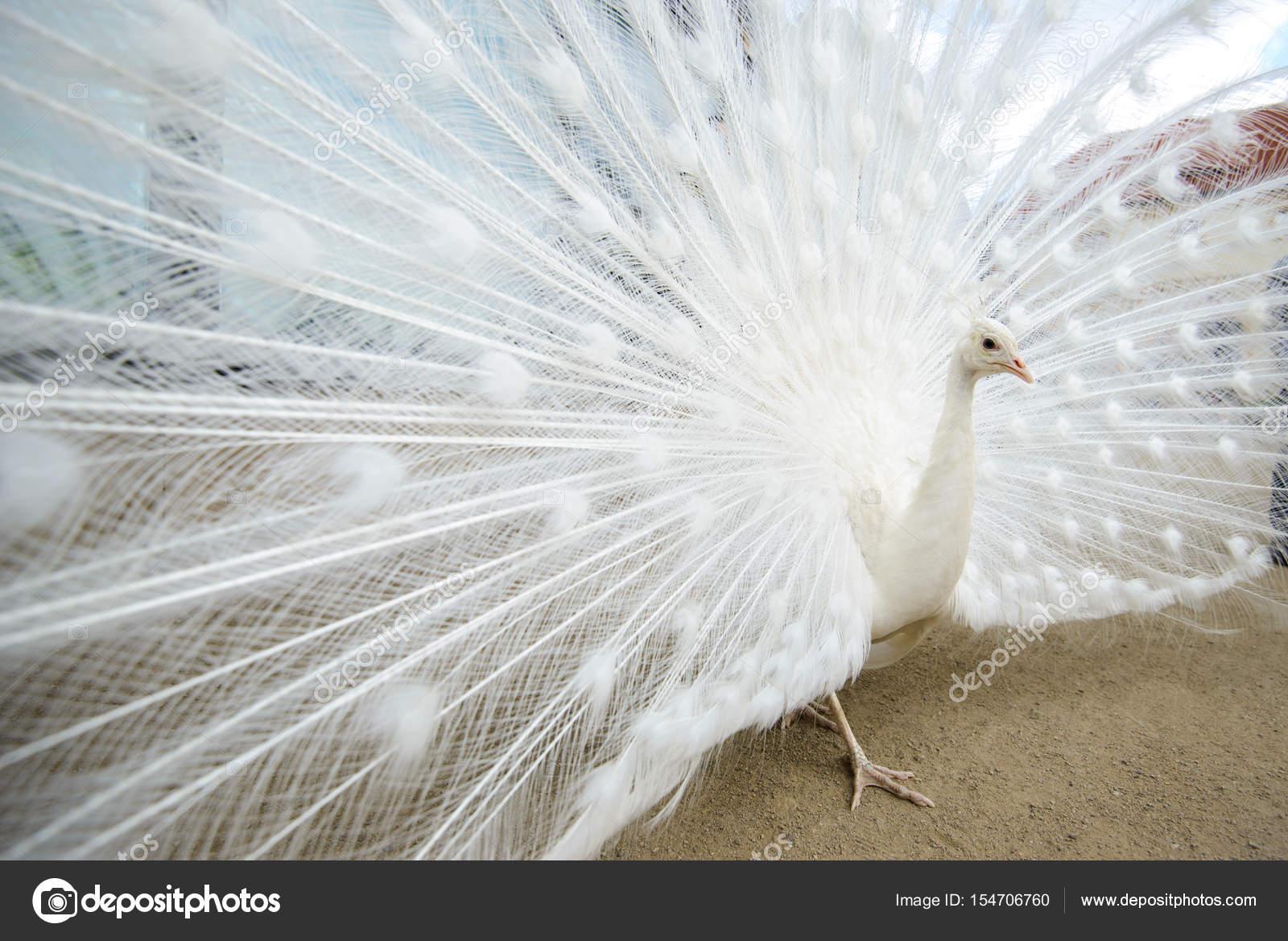 Pavone bianco con coda diffusa — Foto Stock © red-feniks #154706760