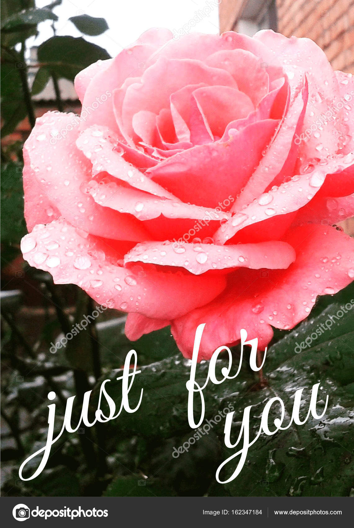 Miss You Rose Just For You Love You Stock Photo