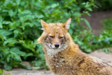 The golden jackal wandered the garden path on a hot summer day