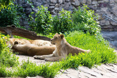 pride rests before the hunt, young male Asian lion and female