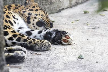 animal surveillance lulled Amur leopard wandered into the city, Northeast China