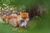 Spící Red Fox, Vulpes Vulpes, v provincii Hokkaido, Japonsko