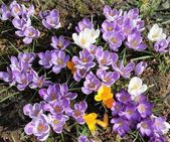 Krásné fialové krokusy