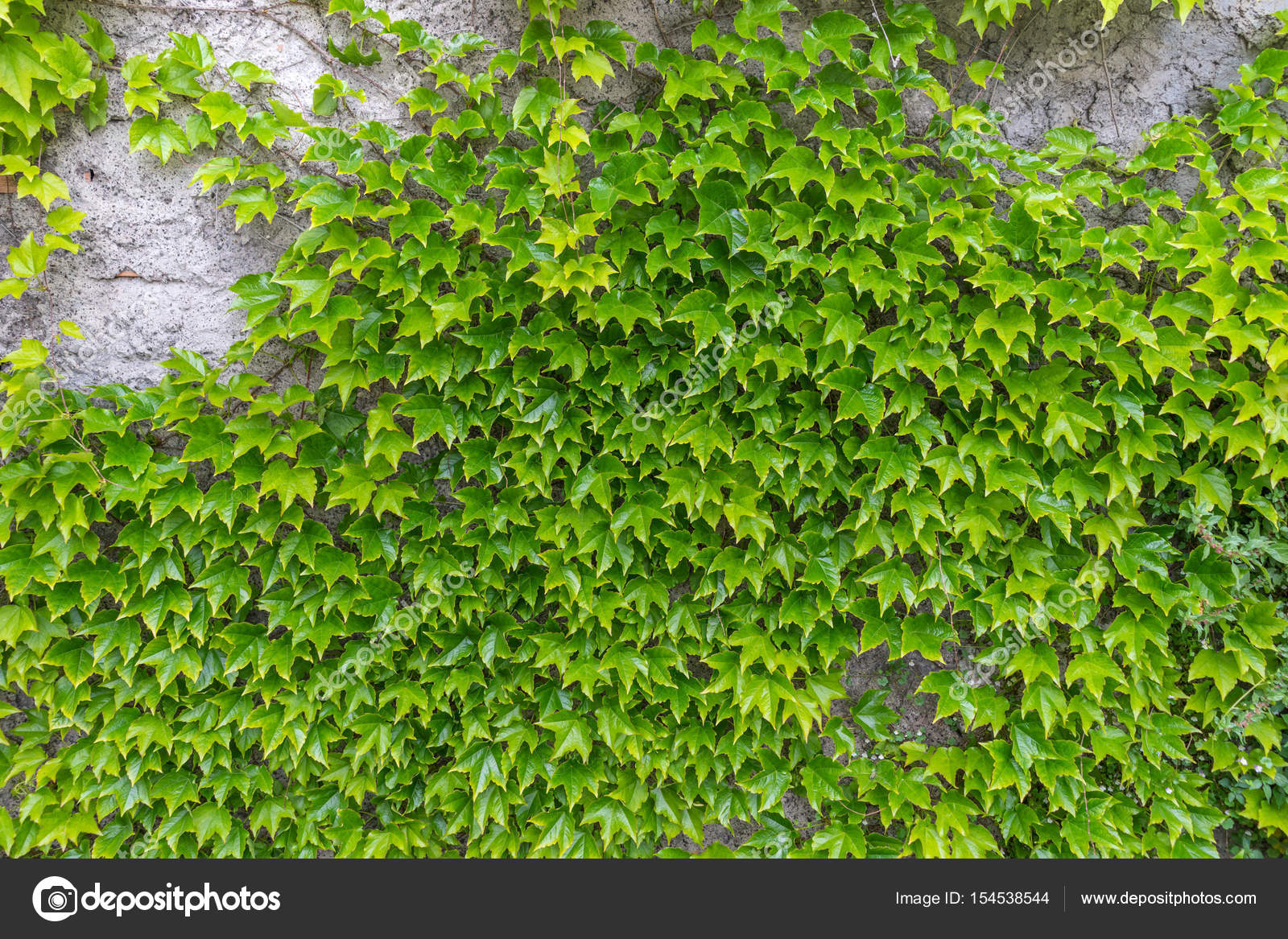 Muro de plantas plantas trepadoras para decorar muros for Plantas trepadoras para muros