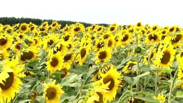 Slunečnicová pole sun flower