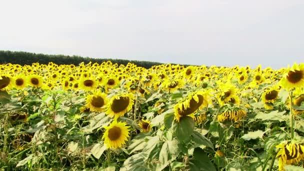 Sunflower field sun flower