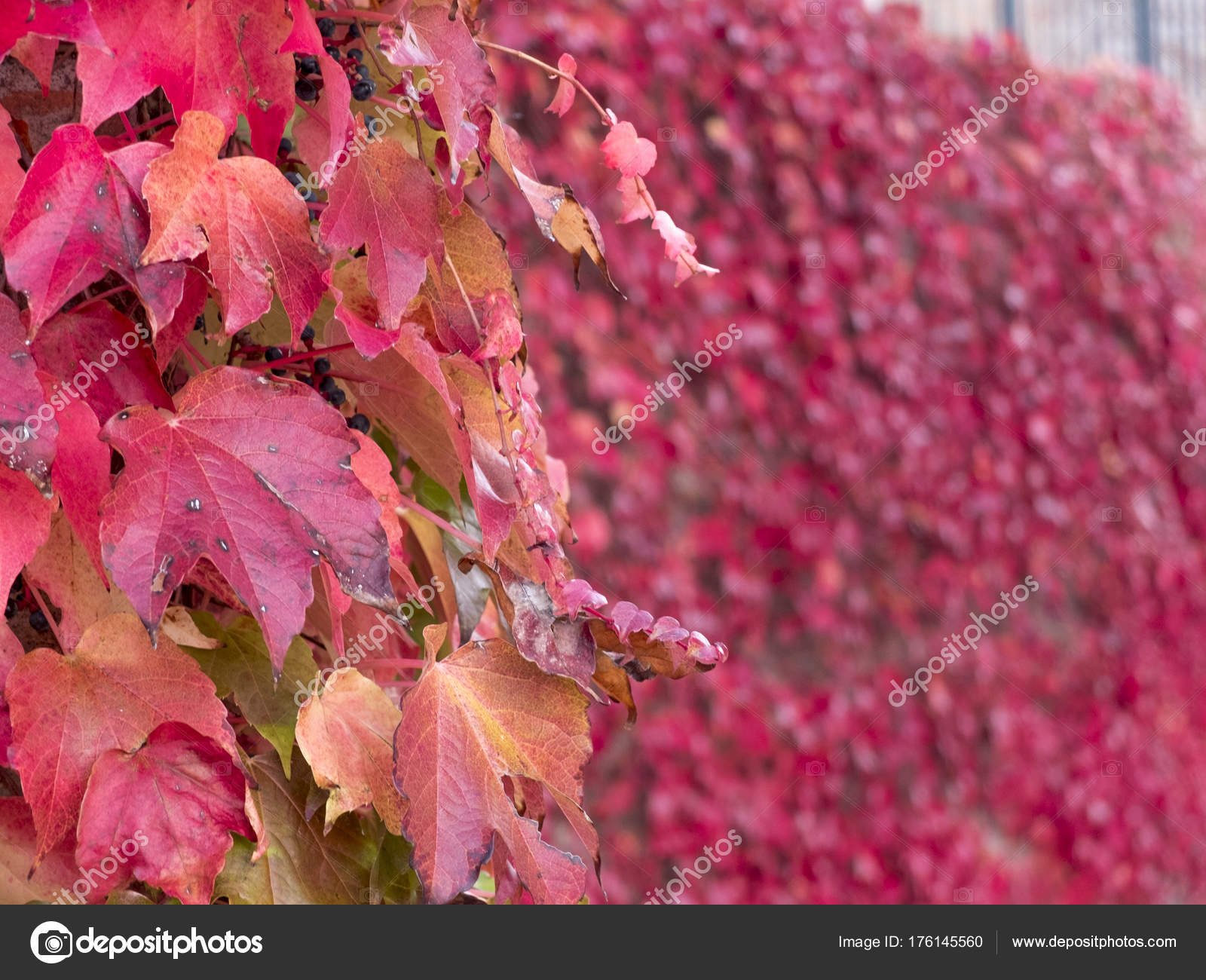 Climbing Plant With Red Leaves And Blue Berries In Autumn On The