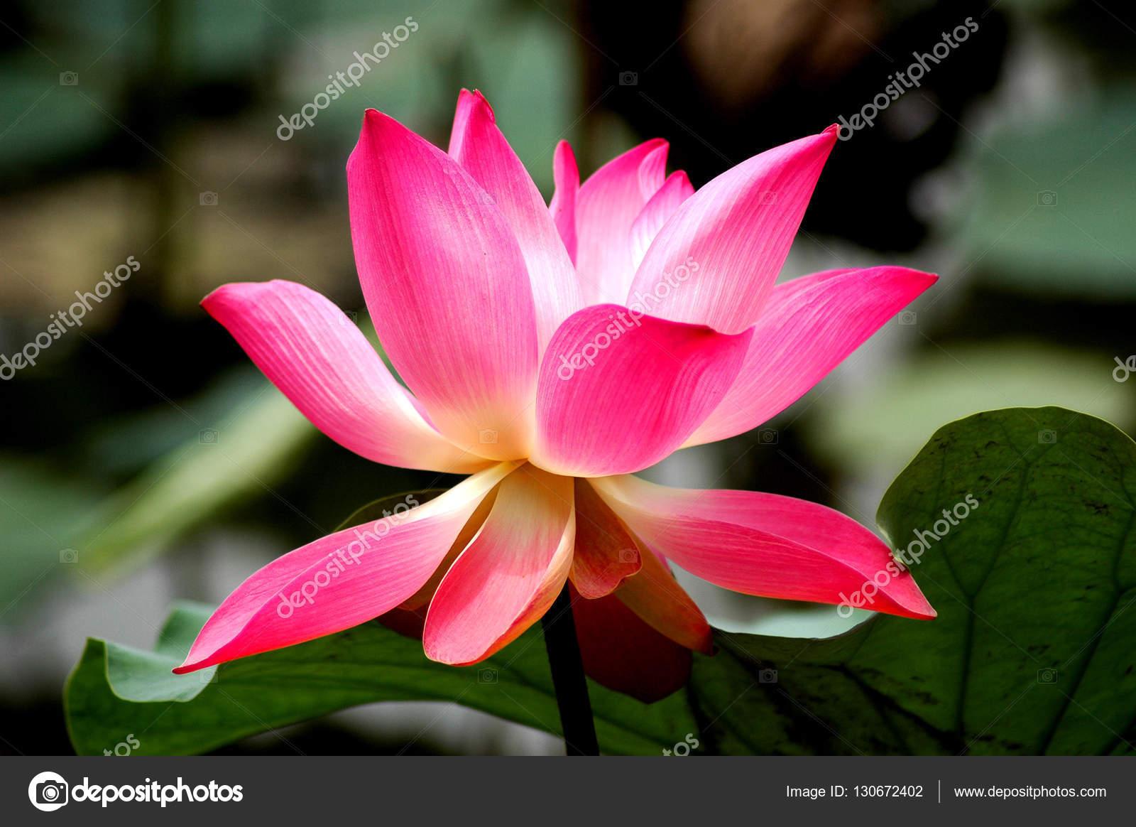 Fleur De Lotus Fleur Nature Photographie Weiteong C 130672402