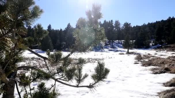 zasněžená krajina s borovicemi