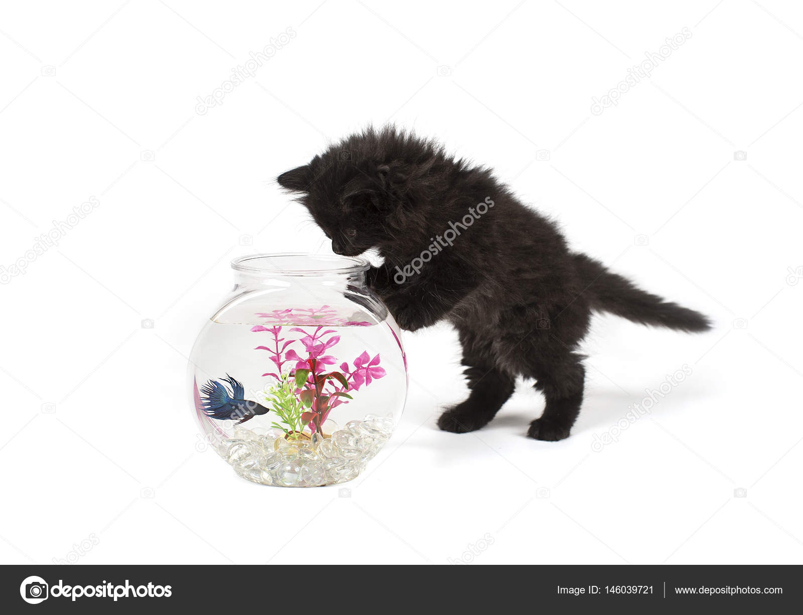 Gatito jugando con peces betta en taz n de fuente foto for Fuentes con peces