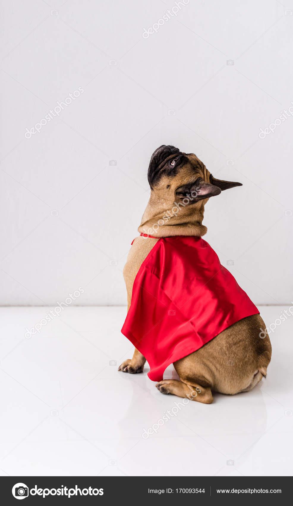 Chien En Costume De Super Héros Photographie Y Boychenko 170093544