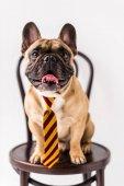 bulldog in striped necktie