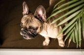 Fajtiszta francia bulldog