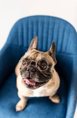 Close-up view of funny french bulldog in eyeglasses sitting on chair stock vector