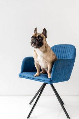 french bulldog sitting on chair