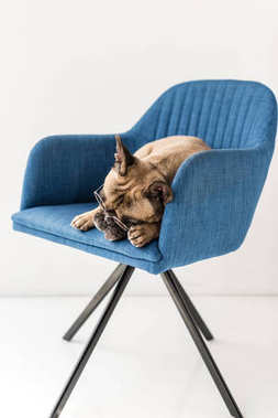 bulldog lying on chair